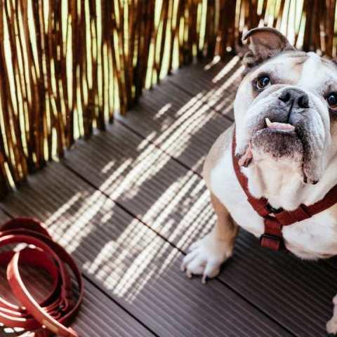 Bulldog ingles cómo cuidar su salud