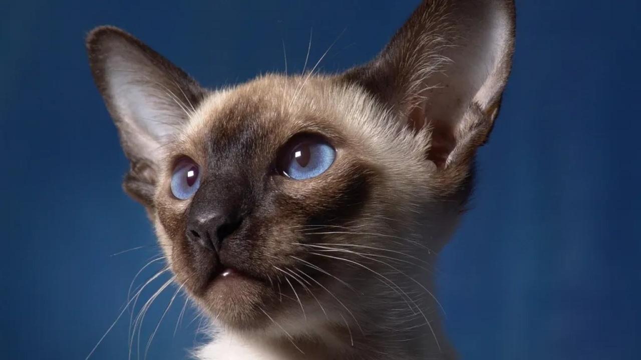 personalidad gato siames