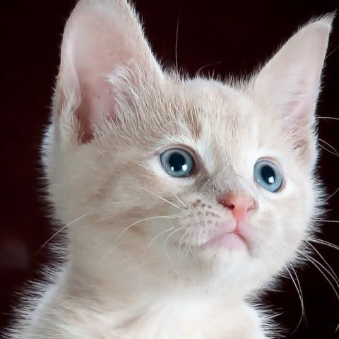 razas de gatos más cariñosas