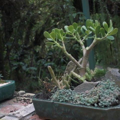 Suculentas bonsái