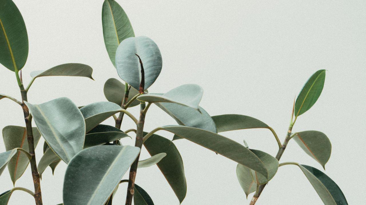 Árbol de caucho para decorar tu hogar