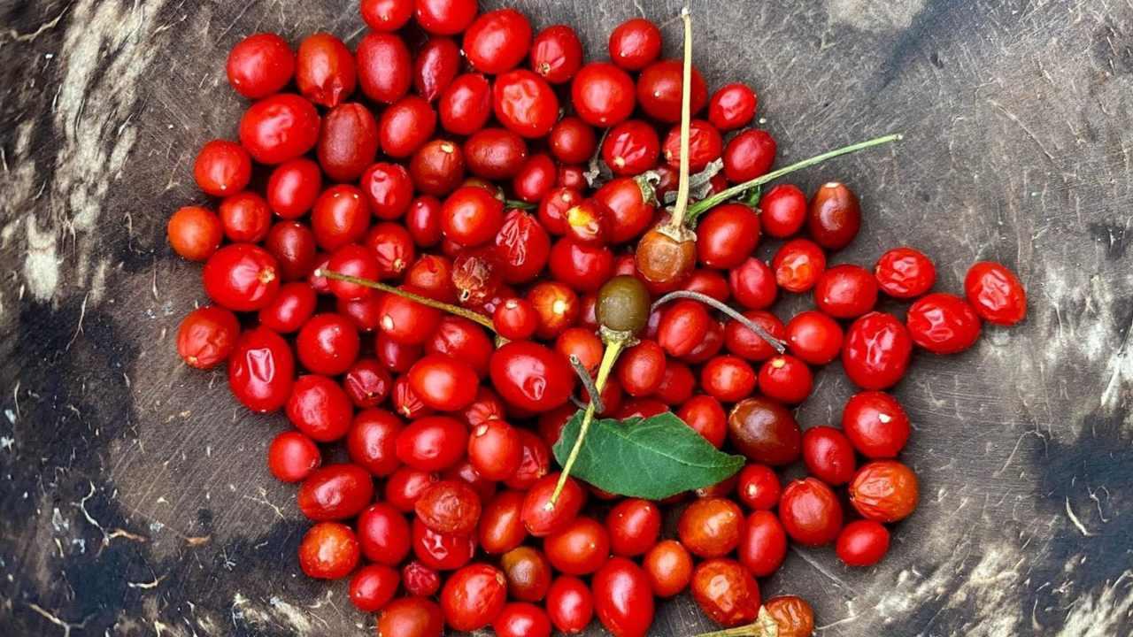 planta de chile chiltepin