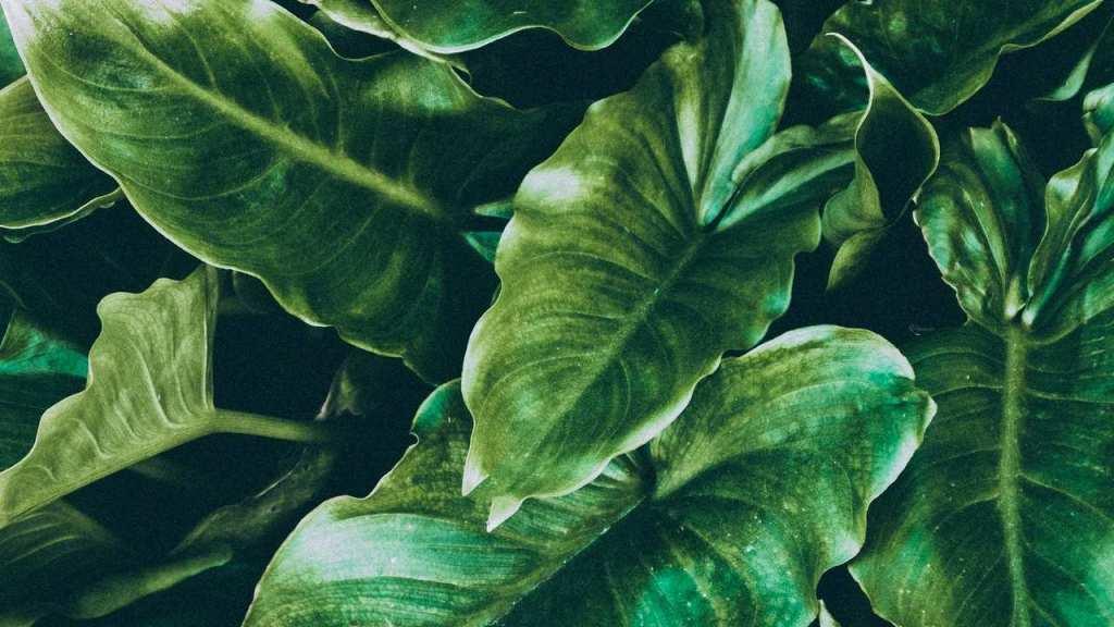 qué hacer con las hojas pegajosas