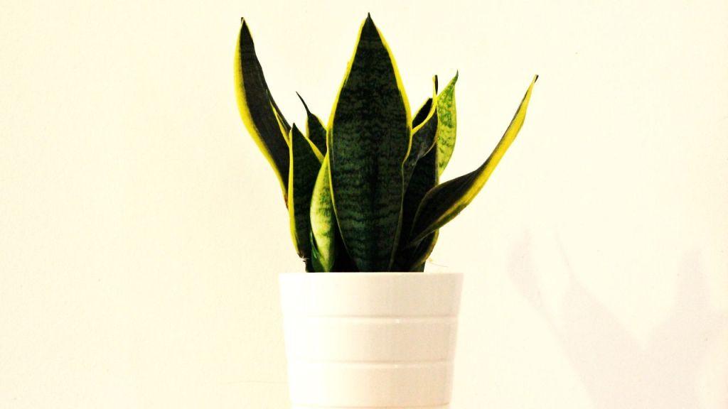 Cómo cuidar tu planta lengua de suegra