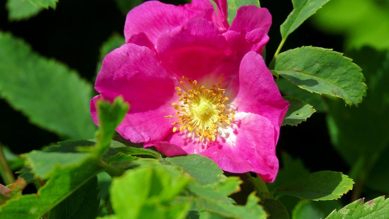 Aceite de rosa mosqueta para la piel
