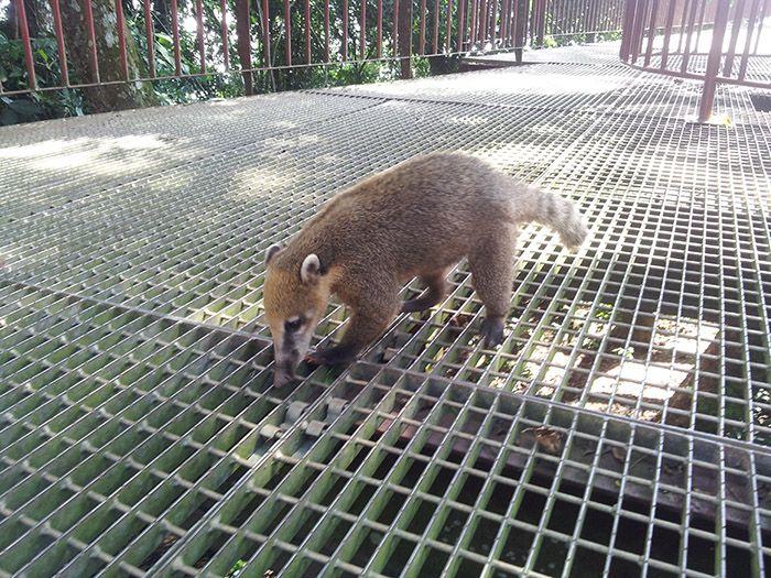 Quati, animalitos muy típicos en Iguazú