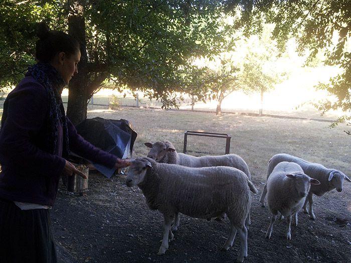 A las ovejas les encanta el maíz... ¡había que vigilar que no se comieran el de los demás!