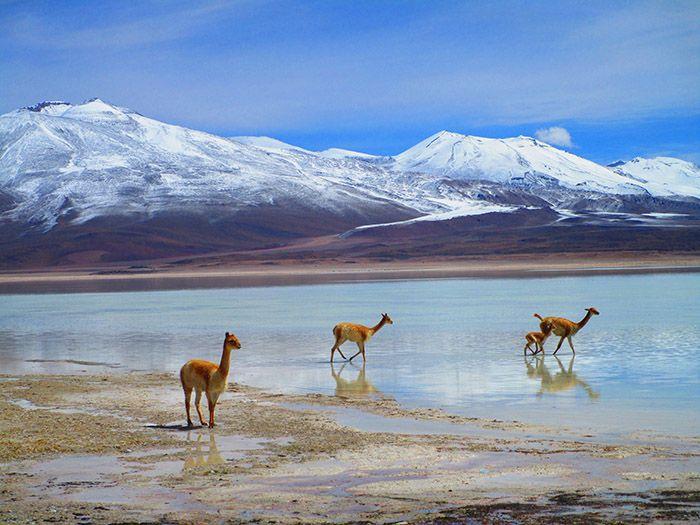 Vicuñas en Laguna Blanca, camino de Uyuni