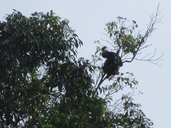 Perezoso en el Amazonas