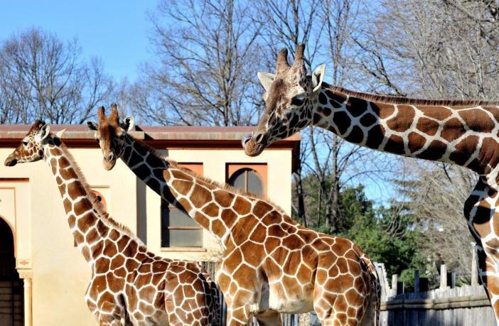 bioparco giraffa