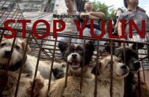 yulin massacro cani