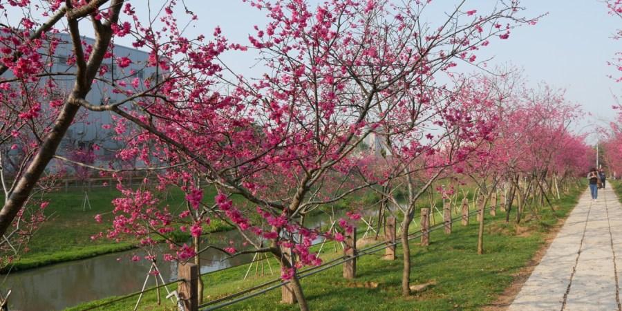 [台中旅遊]崴立機電櫻花公園|后里交流道附近中科賞櫻景點~滿滿八重櫻綠萼櫻花海綻放盛開中 @VIVIYU小世界