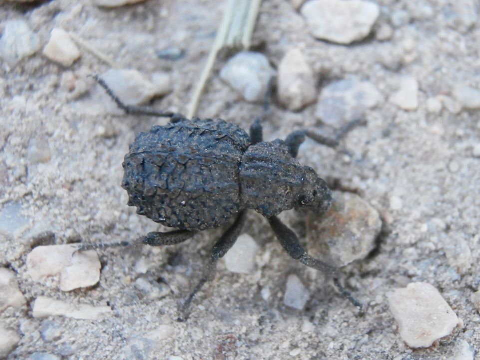Brachycerus sp. (Coleoptera, Curculionidae)