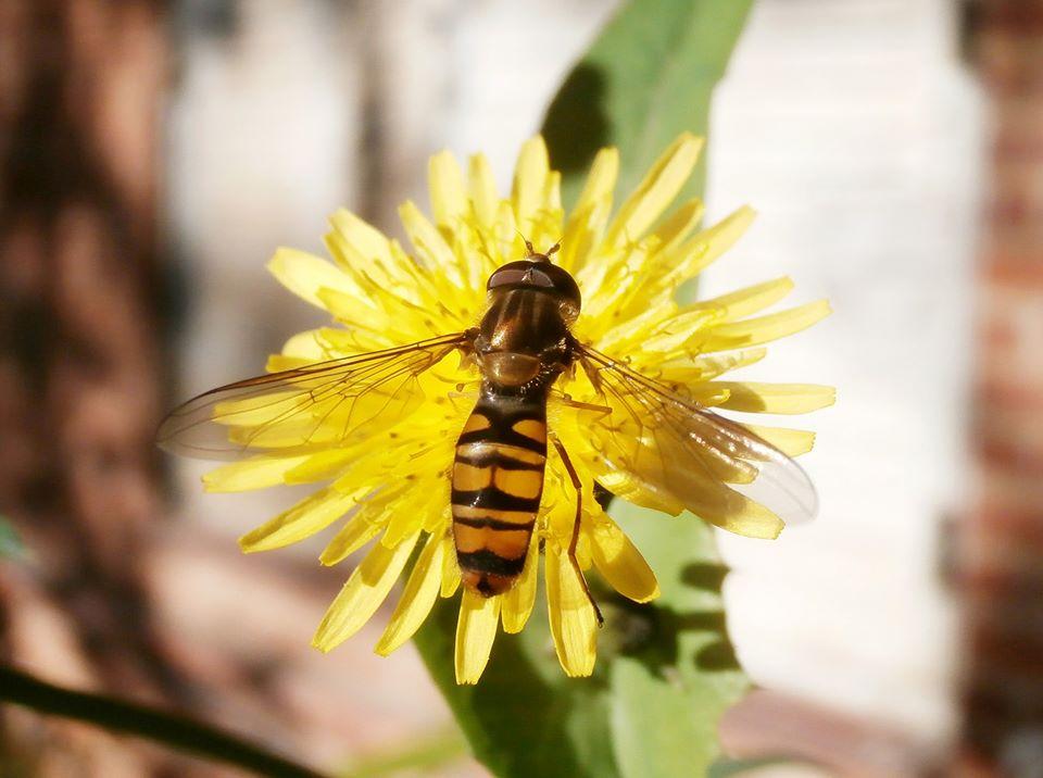 Episyrphus balteatus (Diptera, Syrphidae)