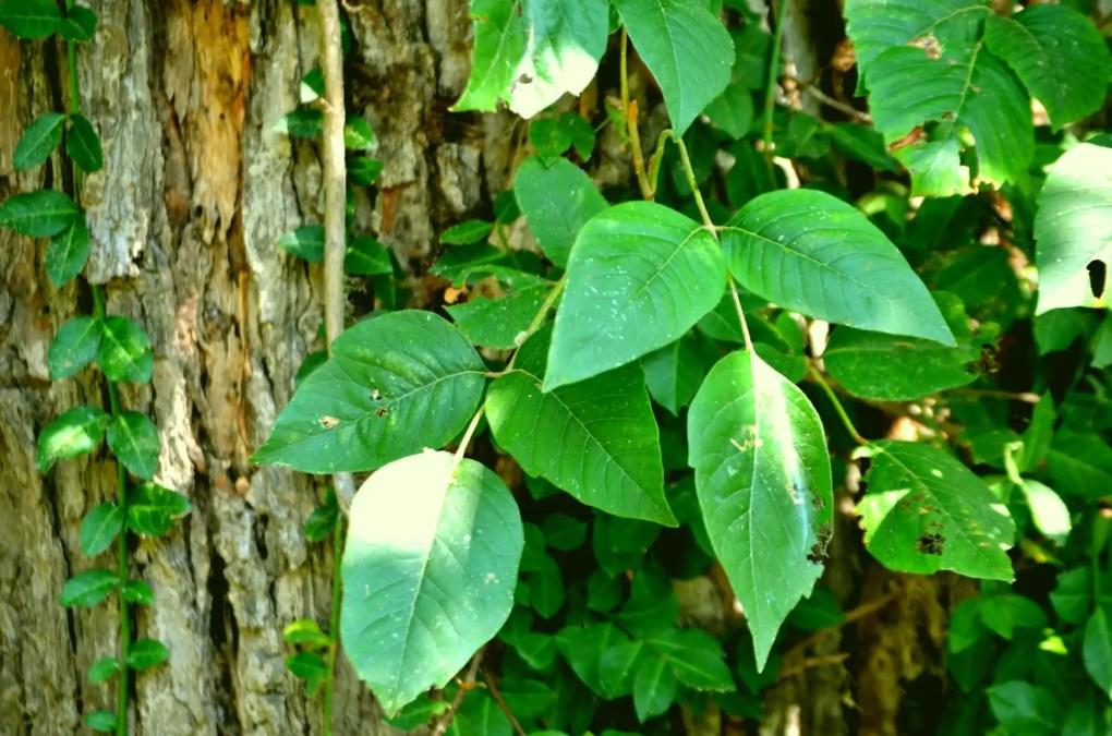 Essential Oils for Poison Ivy - Vivorific Health