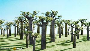 Adansonia Gregorii - Boab