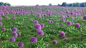 Real Flowers   VIZPARK       Allium