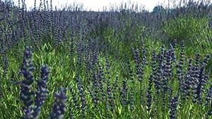 Lavandula - Lavender