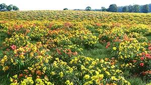 Hemerocallis - Orange Daylily