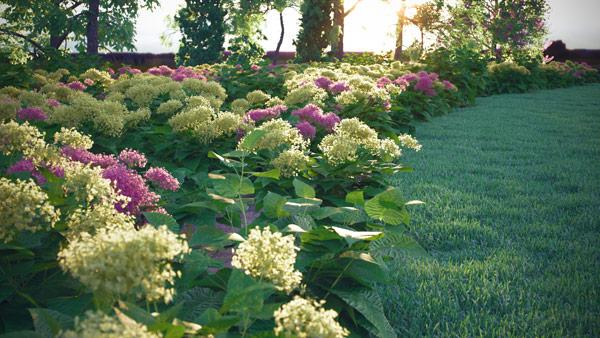 Hydrangea Arborescens - Wild Hydrangea