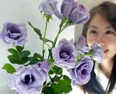 Hoa hồng biến đổi gien có màu tím