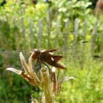 Vlinderer Bij Natuurtuinen