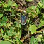 icarusblauwtje vrouwtje