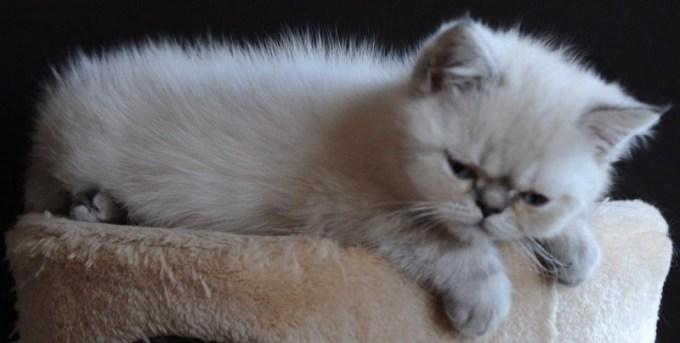 Kittens Dushinka x Pedro