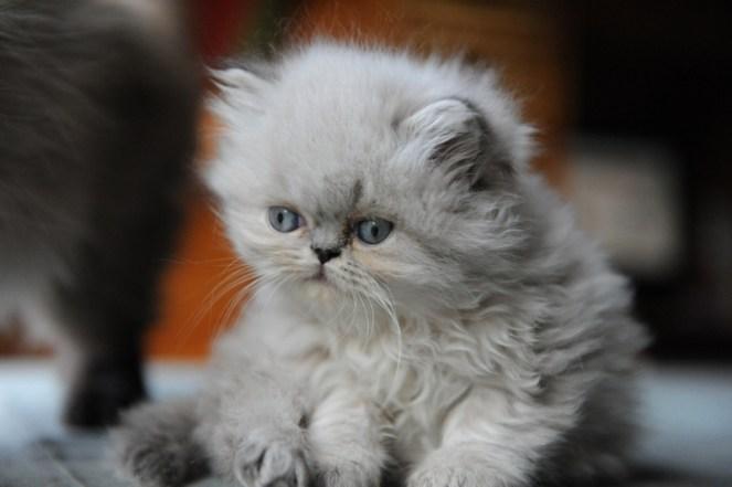 kittens Dushinka x Pedro (4)