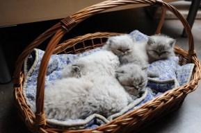 kittens Dushinka x Pedro (5)
