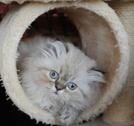 kittens Dushinka x Pedro (8)