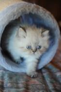 kittens Isaura x Pedro 1