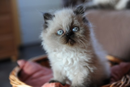 kittens Isaura x Pedro (3)