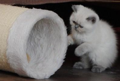 kittens Morticia x Pedro (15)