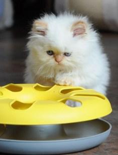 kittens Morticia x Pedro (16)
