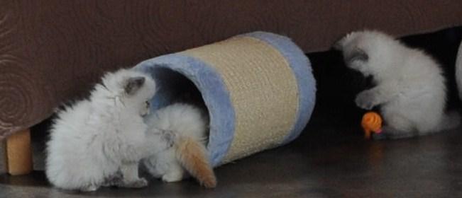 kittens Morticia x Pedro (17)