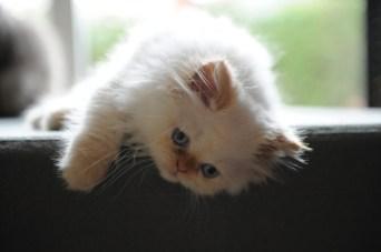 kittens Morticia x Pedro (2)