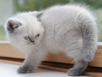kittens Morticia x Pedro (4)