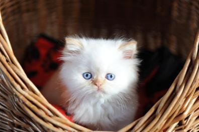 kittens Morticia x Pedro