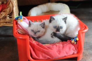 kittens Yoramys Idoya & La Vanitas Pedro 01