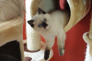 kittens Yoramys Idoya & La Vanitas Pedro 02