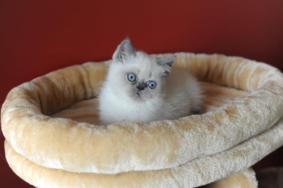 kittens Yoramys Idoya & La Vanitas Pedro 03