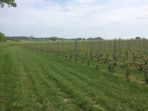 Wijnbouw in Sassenbroek