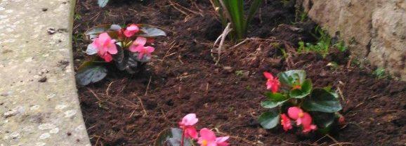 Piantate le begonie nell'aiuola di Piazzale Sandro Pertini