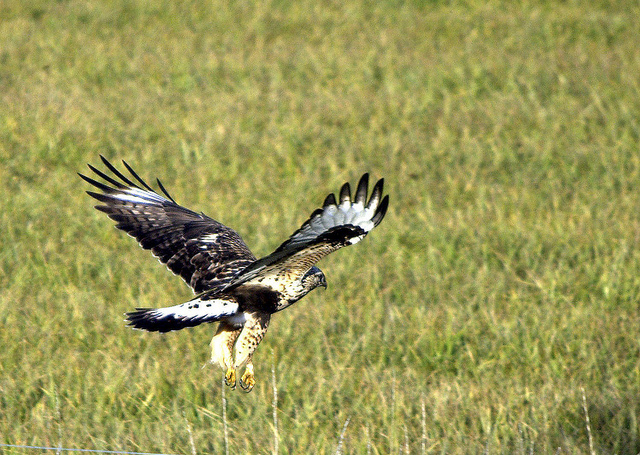 large hawk coming in for a landing in a field of hay