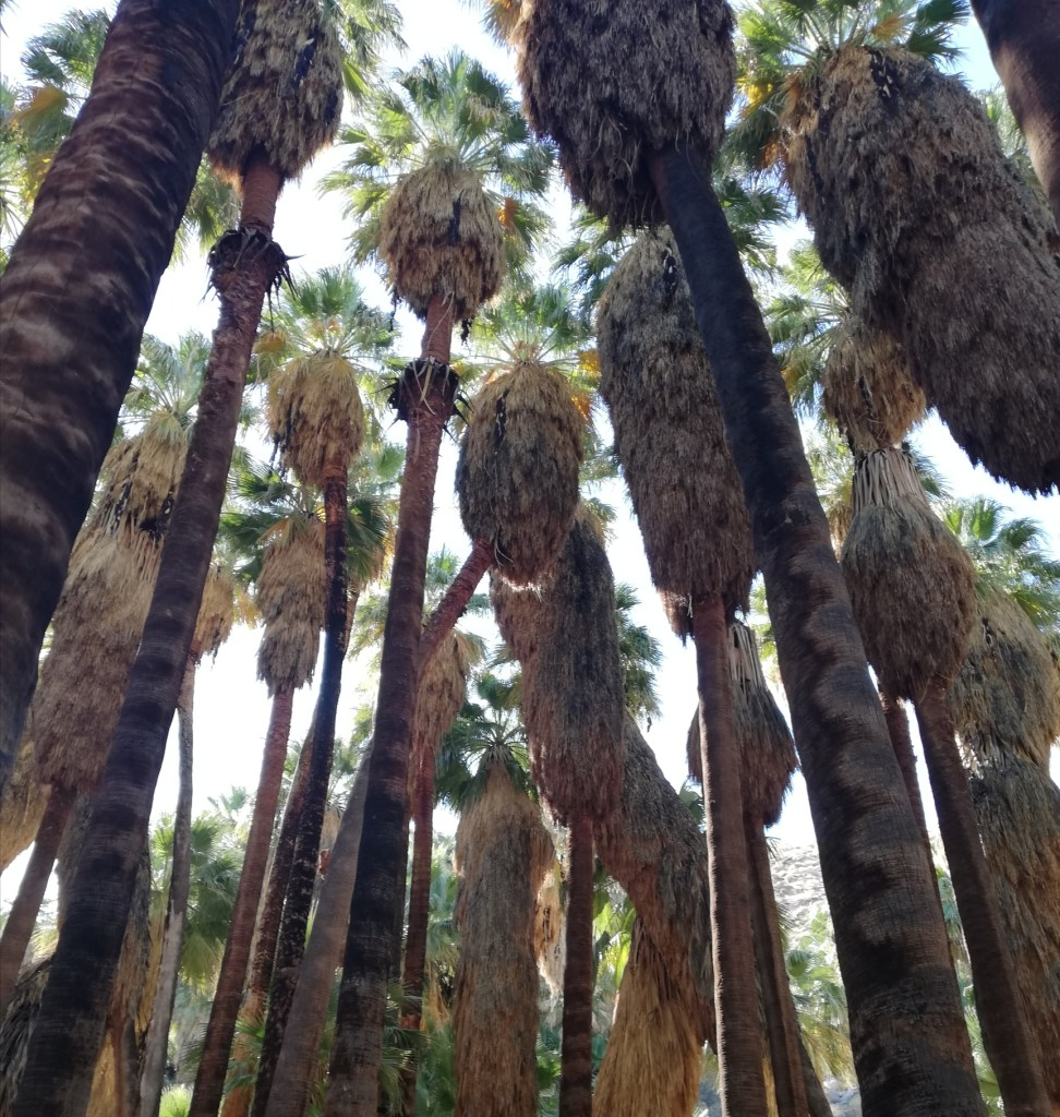 A view from the ground up through a grove of palm trees.