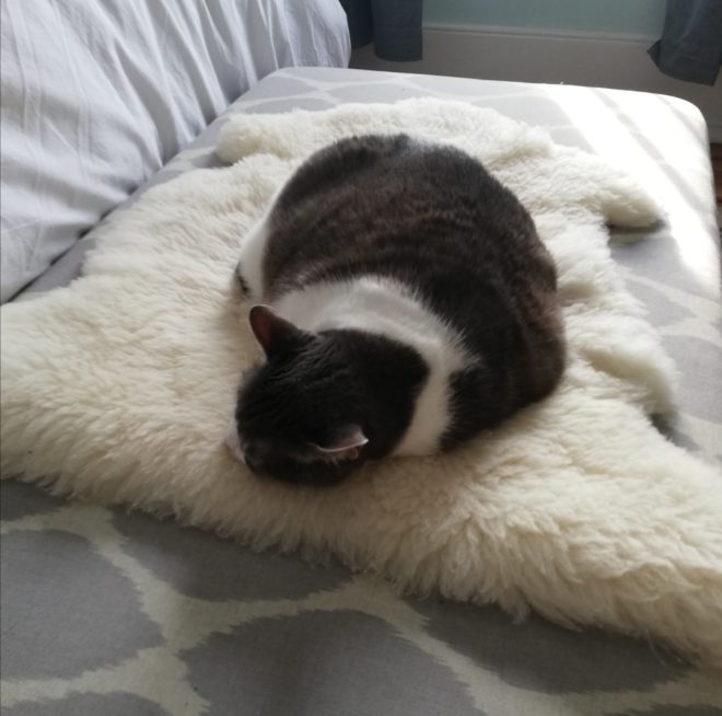 Miss Sugar fast asleep on a sheepskin on top of a grey and white ottoman