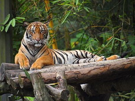A tiger lies contentedly outstretched on a bunch of logs, looking into the camera with interest.
