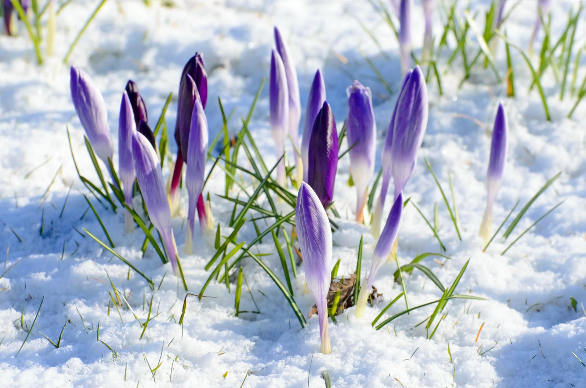 Les fleurs, la neige