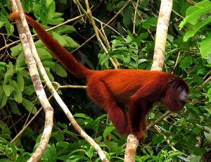 Purus Red Howler Monkey, Puerto Maldonado, Peru